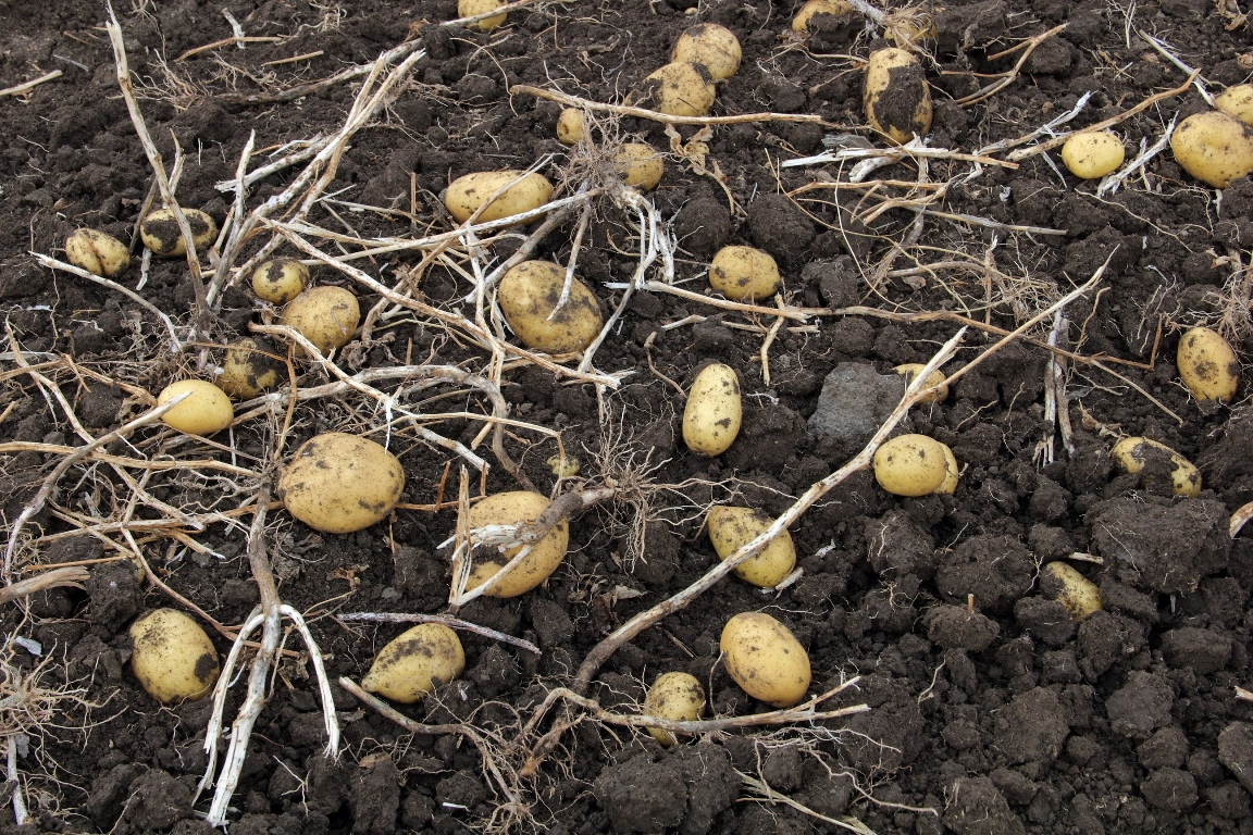 Сбор картошки в Армении