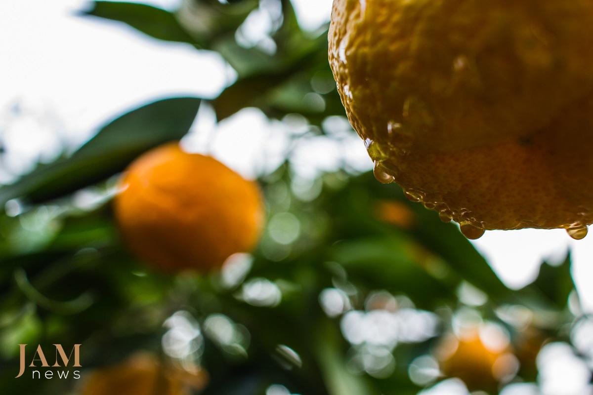 Астара и Ленкорань -  славится «экзотическими» фруктами
