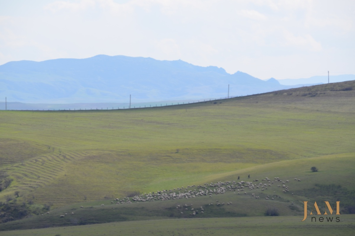 A flock of sheep grazing in the minefield area. In the background is a fence separating Georgia and Azerbaijan. Photo: HALO Trust. Landmines on the Georgian-Azerbaijani border.