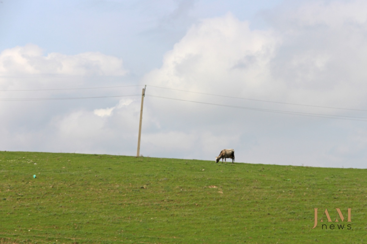 Կովը Կիրաչ-Մուգանլո գյուղի մերձակայքի արոտավայրում: 2016թ-ին այս վայրում ականի վրա ձի է պայթել: Լուսանկարը՝ Դավիթ Պիպիայի, JAMnews: Ականները՝ վրաց-ադրբեջանական սահմանին